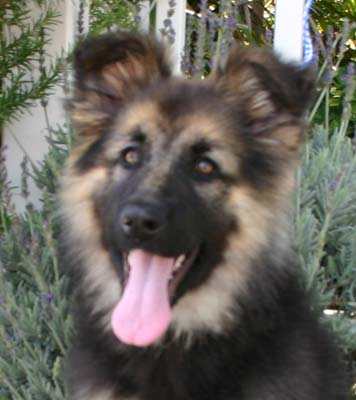Long hair german shepherd puppies group picture image by tag