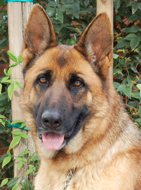 German Shepherd Dog Face Back to available dogs