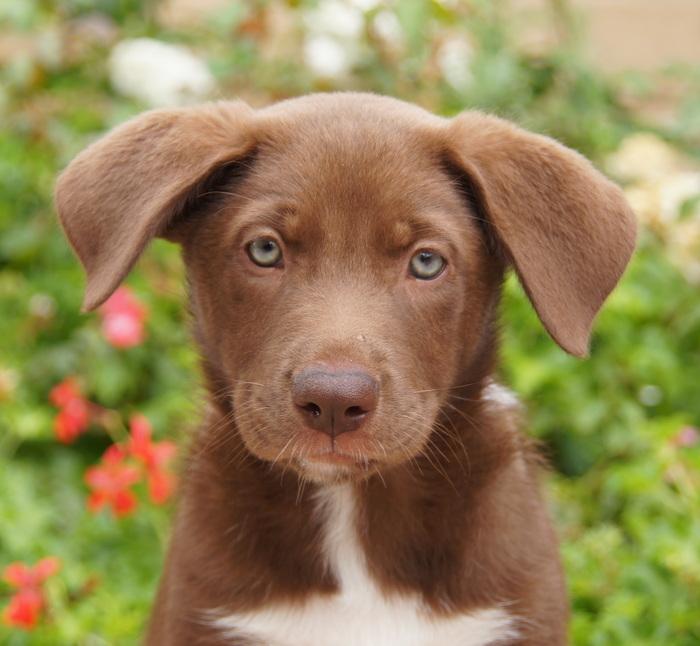 German Shepherd Lab Mix Puppy