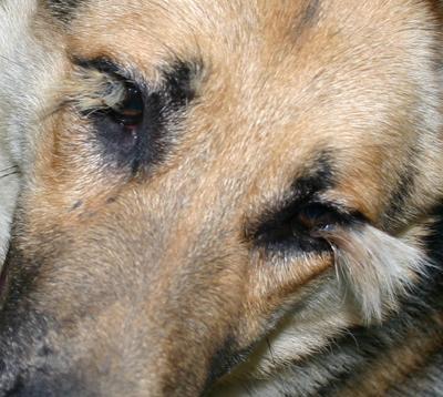 Westside German Shepherd Rescue of Los Angeles - Tails of ...
