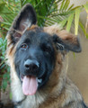 Smokey von Munster is the most adorable 4 month old German Shepherd puppy.