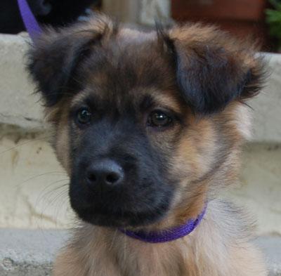 Gallery For > German Shepherd Terrier Mix Full Grown