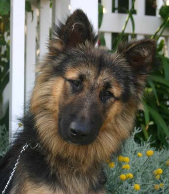 Keeshond German Shepherd Mix For Sale