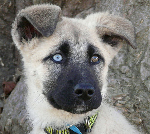 White German Shepherd Puppies With Blue Eyes He is a striking looking dog,