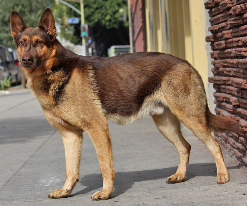 German shepherd puppies for adoption for Shar pei puppies for sale craigslist