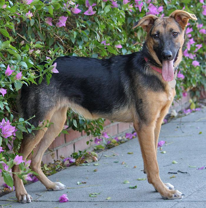 Westside German Shepherd Rescue Of Los Angeles - Dora german shepherd