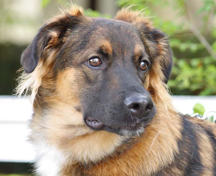 German Shepherd Australian Shepherd Mix - Dog Training ...