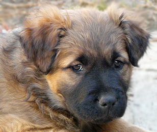 Golden retriever ridgeback mix – Dogs in our life photo blog