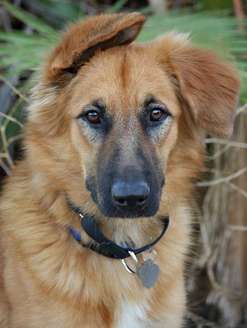 Golden Retriever German Shepherd Husky Mix Pictures to pin on ...