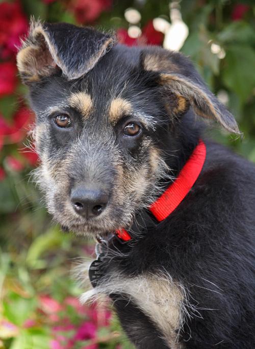Irish Wolfhound German Shepherd Mix | www.pixshark.com ...
