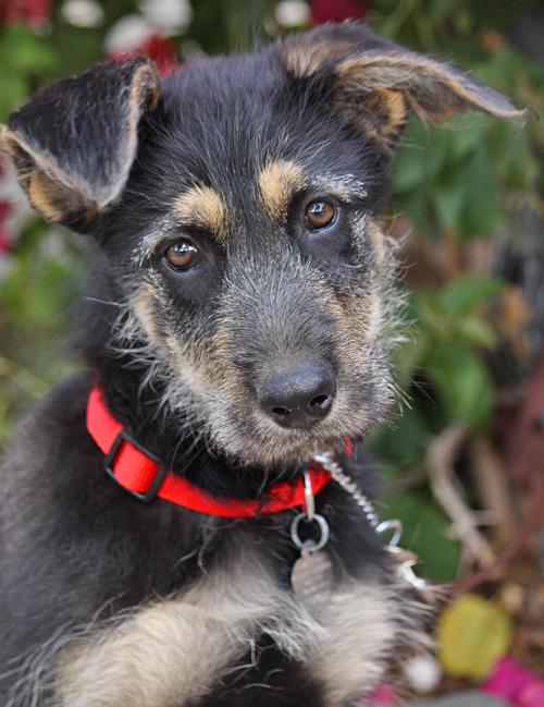 Irish Wolfhound German Shepherd Mix Puppies