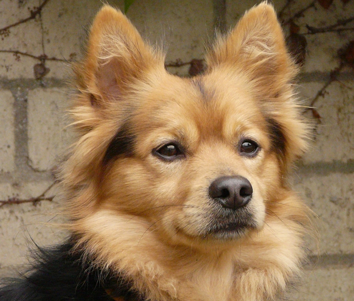 Niko Von Nussbaum Is The Most Wonderful 12 Month Old Corgi Pomeranian Mix This Our Best Guess Shelter Had Him As A