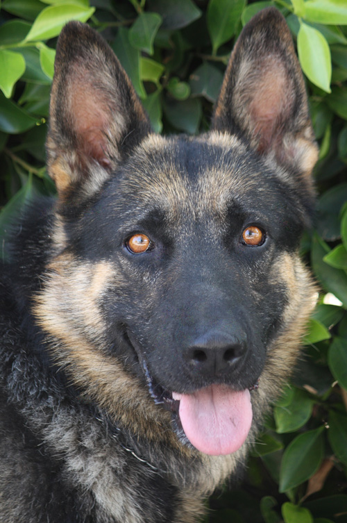 Westside German Shepherd Rescue Of Los Angeles