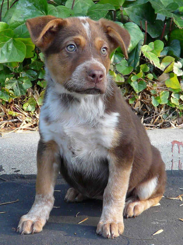 8-10 week old Chocolate Lab/Heeler/Cattle dog mix (?)
