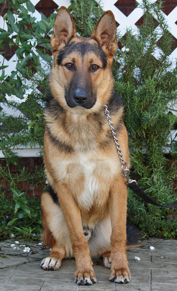 Pay Shell Credit Card >> Westside German Shepherd Rescue of Los Angeles