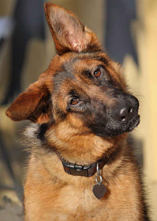 Who Takes Paypal >> Westside German Shepherd Rescue of Los Angeles