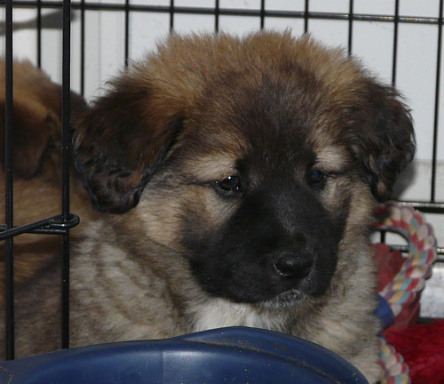 Leonberger Dogs For Adoption Los Angeles | myideasbedroom.com