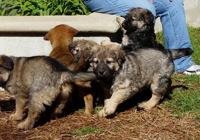 Sophia von Salzburg Puppies