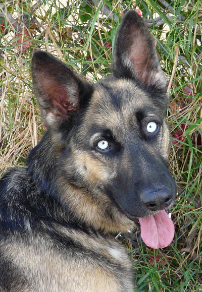 German Shepherd with Blue Eyes